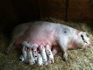 pig dlivered